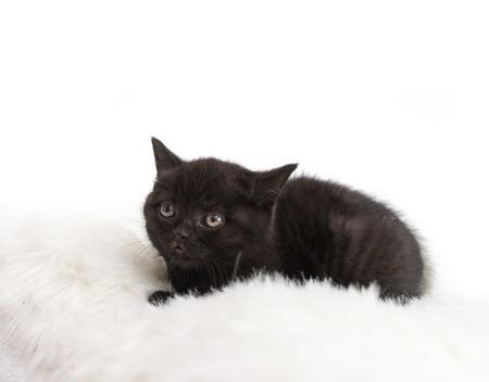 british pussy: Adorable british little kitten posingon a pillow.