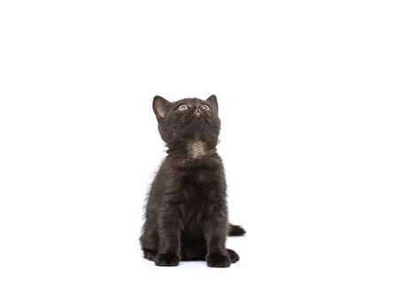 british pussy: Adorable british little kitten posing on a white Stock Photo