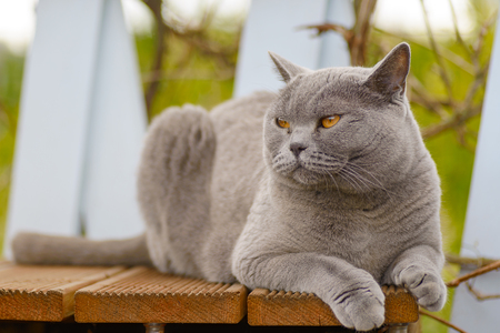 A grey and white cat lying on a wood terrace