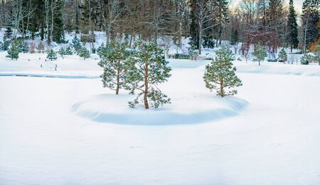 Trees in orchard covered by snow in winter day