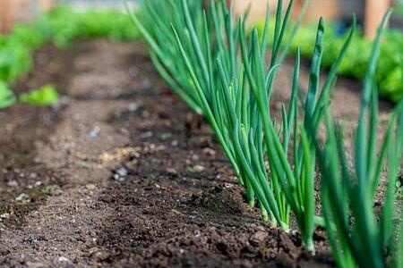 Close-up fields grow vegetables in soil. 版權商用圖片