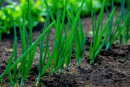 Close-up fields grow green vegetables in soil Stock Photo - 141672256