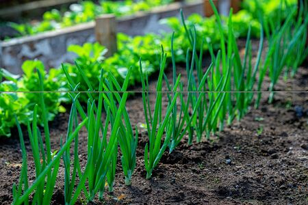 Close-up fields grow green vegetables in soil