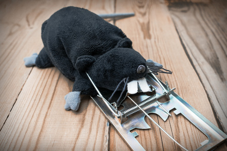 The plush toy rat is black. The mouse hit the mousetrap. Concept.