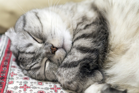 Gray cat breed folded shatlandets sweetly tightly back covered with a paw.