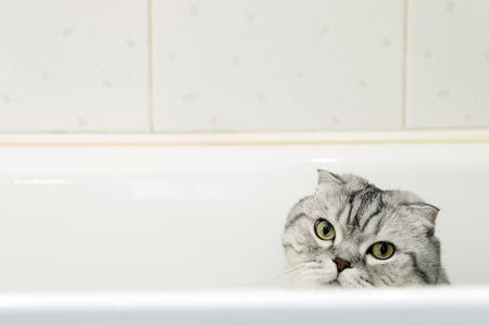 Gray Cat Scottish Fold in the Bathroom Reklamní fotografie