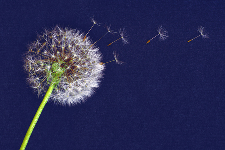 dandelion flower, white fluffy on a blue background, fly off the seeds