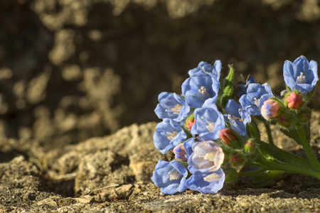 small beautiful flowers comfrey, garden in summer, close-up