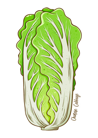 Chinese cabbage fresh natural vegetable, hand drawn vector illustration isolated