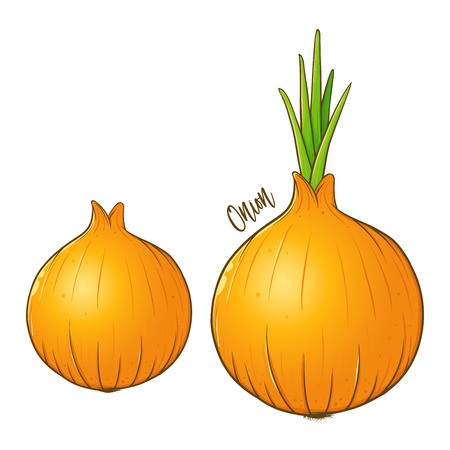 Onions fresh natural vegetable, hand drawn vector illustration isolated