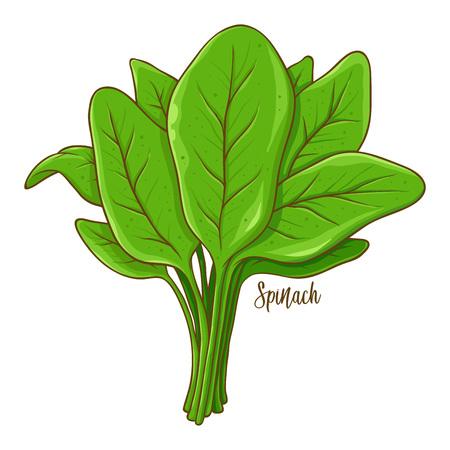 Bouquet d'épinards légume naturel frais, illustration vectorielle dessinés à la main isolé