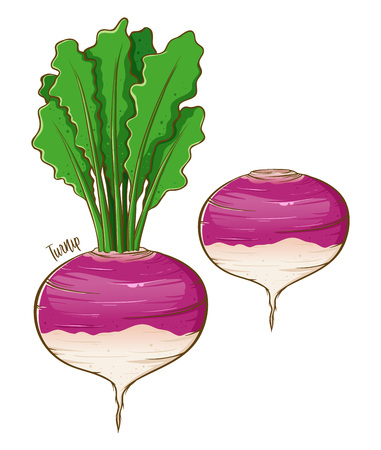 Turnip fresh natural vegetable, hand drawn vector illustration isolated