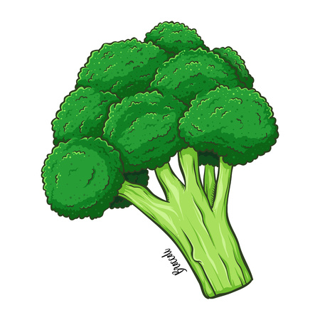 Broccoli fresh natural vegetable, hand drawn vector illustration isolated