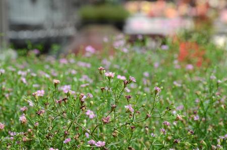 Cuphea hyssopifolia Stock Photo