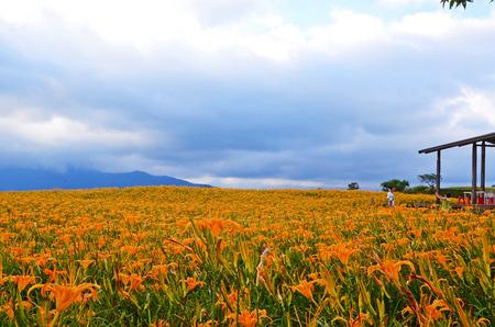 Hemerocallis fulva, Orange Daylily, The Orange day lily flower at sixty stone mountain, Fuli, Hualien, Taiwan Stock Photo - 86562728