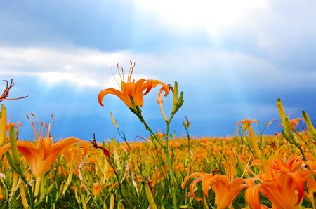 Hemerocallis fulva. Orange Daylily. The Orange day lily flower at sixty stone mountain. Fuli, Hualien, Taiwan Stock Photo