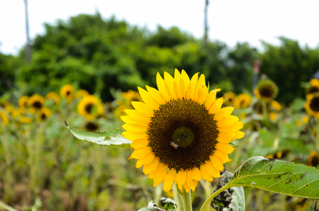 helianthus sunflower garden