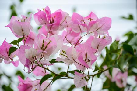 Bougainvillea Paper Flower Stock Photo
