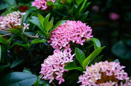 Pentas lanceolata flowers