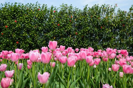 Common Tulipa Liliaceae Tulip