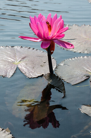 Water lily Nymphaea tetragona