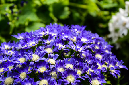 Cineraria Senecio cruentus Stock Photo