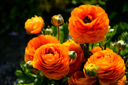 Ranunculus asiaticus (Buttercup) Stock Photo