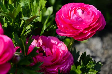 Ranunculus asiaticus (Buttercup) Reklamní fotografie