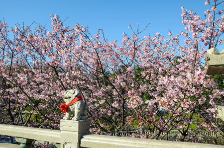 Zhu Lin Shan Guan Yin Si,taipei-Cherry blossoms and Stone statue (imperial guardian lions)