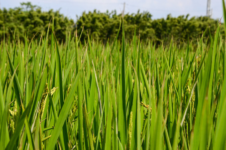 Oryza sativa or Paddy closeup photo