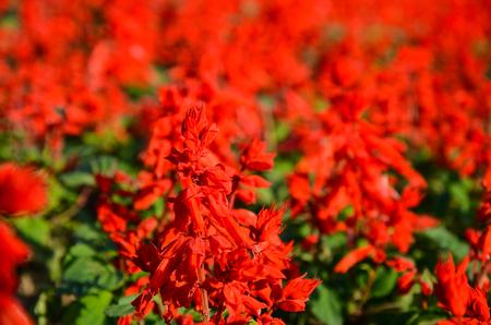 Salvia splendens, Scarlet Sage