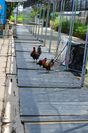 A lot of chickens in the farm