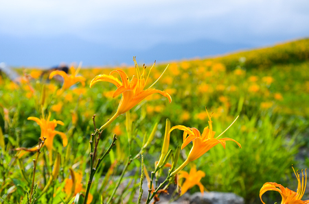 Hemerocallis fulva, Orange Daylily, The Orange day lily flower at sixty stone mountain, Fuli, Hualien, Taiwan Stock Photo - 114884461
