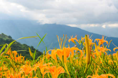 Hemerocallis fulva, Orange Daylily, The Orange day lily flower at sixty stone mountain, Fuli, Hualien, Taiwan Stock Photo - 114884923