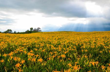 Hemerocallis fulva, Orange Daylily, The Orange day lily flower at sixty stone mountain, Fuli, Hualien, Taiwan