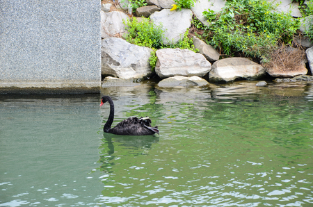 Black Swan in the park