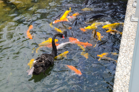 Black swan and koi Stock Photo