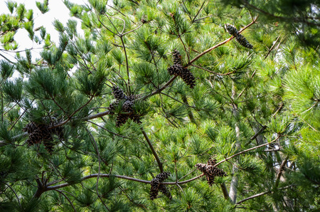 Pine cone tree Stock Photo
