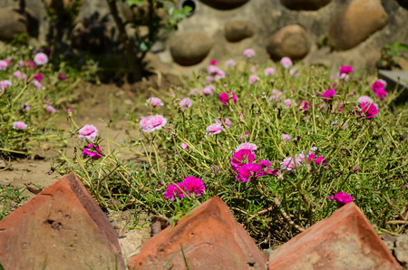 Portulaca grandiflora flower Stock Photo