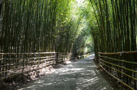 Taiwan Miaoli,sunlight in the unique green Bamboo forest Stock Photo
