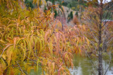 Colorful winter Bald Cypress Turning Red In Autumn At A Beautiful Garden In Sanwan, Miaoli, Taiwan