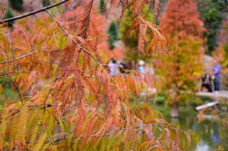 Colorful winter Bald Cypress Turning Red In Autumn At A Beautiful Garden In Sanwan, Miaoli, Taiwan