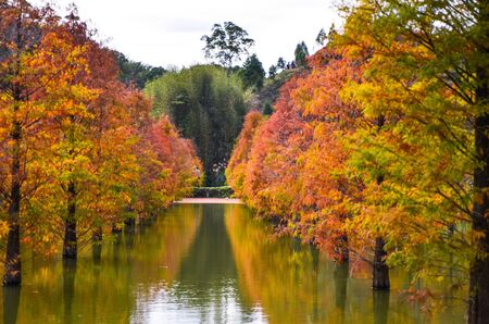 Colorful winter Bald Cypress Turning Red In Autumn At A Beautiful Garden In Sanwan, Miaoli, Taiwan Banque d'images