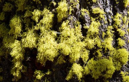 Golden green moss on pine tree bark.