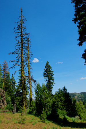 View of a dead tree in the Warner Mountains, Modoc County, California. Stock fotó