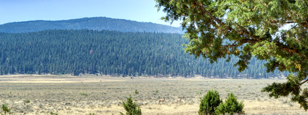 Two watchful pronghorn antelope in an open range field with forested mountains in the background.