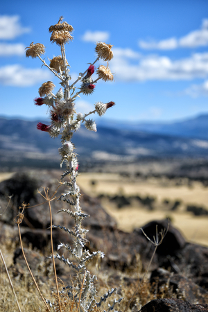 Snowy Thistle (Cirsium occidentale var.candidissimum) native to California, United States of America. This one was seen in Modoc County.
