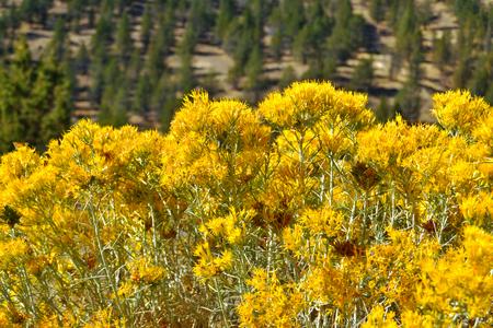 Rabbitbrush (Ericameria nauseosa) blooming in Modoc County, California, United States of America. Stock fotó