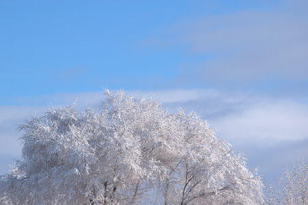 Leafless tree branches covered with snow and ice in front of a soft blue sky with smooth clouds in January.