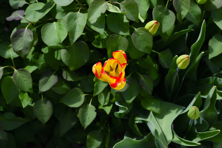 Yellow and orange tulip surrounded by green leaves of another plant.